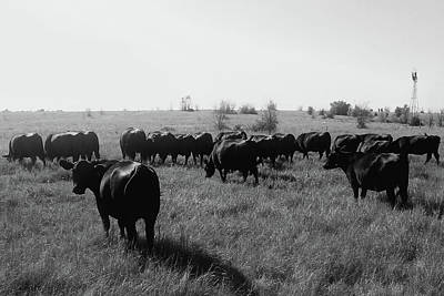 Photograph - Angus Herd Cow Count by Michele Carter
