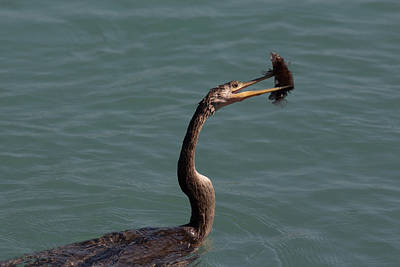 Photograph - Anhinga Catching Fish #2 by Richard Goldman