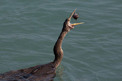 Photograph - Anhinga Catching Fish #3 by Richard Goldman