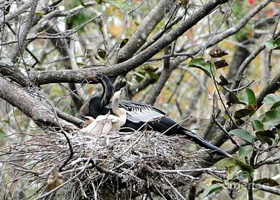 Queen Rights Managed Images - Anhinga and Chicks Royalty-Free Image by Barbie Corbett-Newmin