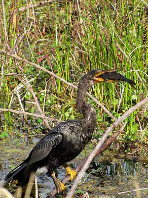 Photograph - Anhinga And Fish  by Chris Mercer