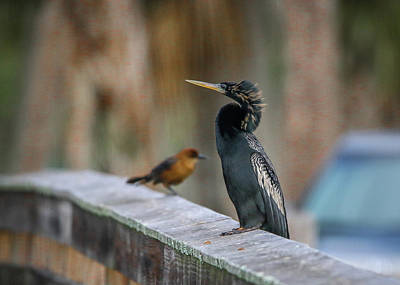 Photograph - Anhinga And Friend by Tom Claud