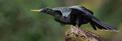 Anhinga Wall Art - Photograph - Anhinga Anhinga Anhinga, Costa Rica by Panoramic Images