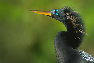 Anhinga Photograph - Anhinga Anhinga Anhinga, Tortuguero by Panoramic Images