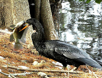 Anhinga Catches Fish Original by Allan Einhorn