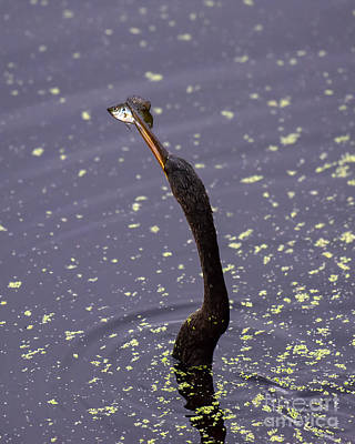Photograph - Anhinga Catching A Fish 2813c by Cynthia Staley