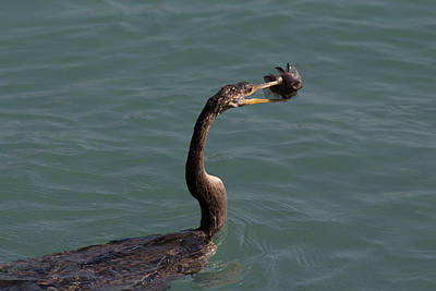 Photograph - Anhinga Catching Fish #1 by Richard Goldman