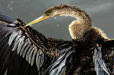 Photograph - Anhinga Everglades Florida by Bob Christopher