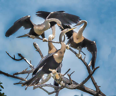 Photograph - Anhinga Feeding Time by Richard Goldman