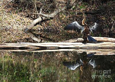 Photograph - Anhinga In The Swamp by Carol Groenen