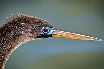 Photograph - Anhinga by Laurie Hasan