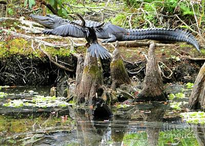 Photograph - Anhinga Measuring Alligator by Barbie Corbett-Newmin