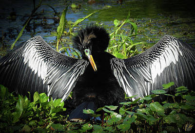 Photograph - Anhinga, No. 22 by Elie Wolf