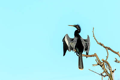 Photograph - Anhinga Posing by Ben Graham