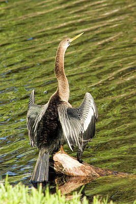 Photograph - Anhinga Sunning On A Log by William Tasker