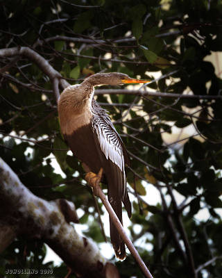 Photograph - Anhinga Water Fowl by Joseph G Holland