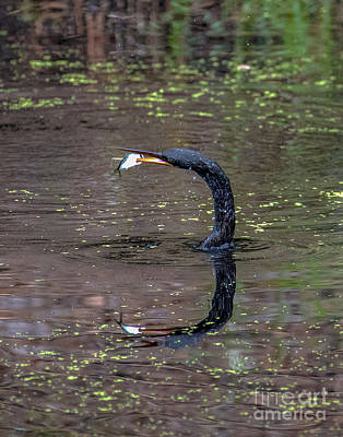 Photograph - Anhinga With Speared Fish 2358c by Cynthia Staley