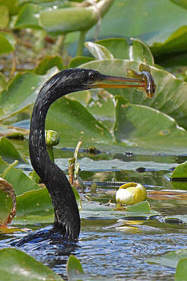 Anhinga With Speared Fish Original