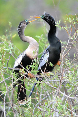 Anhinga Wall Art - Photograph - Anhingas Courting by Alan Lenk
