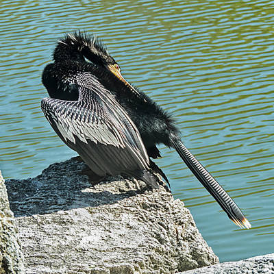 Photograph - Anhingha Bird Preening by Bob Slitzan
