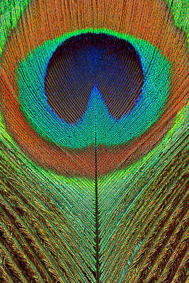 Photograph - Animal - Bird - Peacock Feather by Mike Savad