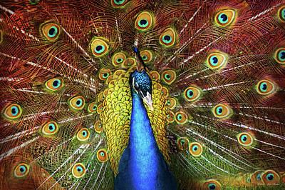 Photograph - Animal - Bird - Peacock Proud by Mike Savad