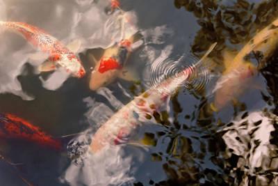 Animal - Fish - Being Koi Art Print by Mike Savad