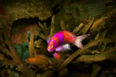 Photograph - Animal - Fish - Pseudanthias Pleurotaenia  by Mike Savad