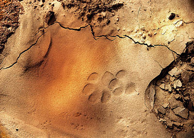 Photograph - Animal Tracks 2 by Barbara D Richards