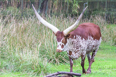 Photograph - Ankole Longhorn by Pamela Williams