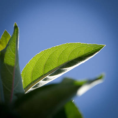 Photograph - Anna Apple Tree Leaf by Laurel Powell