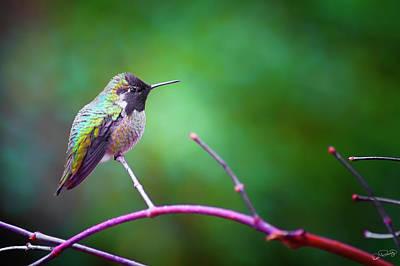 Photograph - Anna Hummingbird Iv by Dee Browning