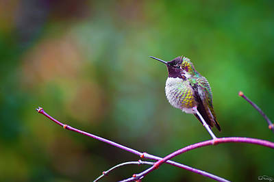 Photograph - Anna Hummingbird Vi by Dee Browning