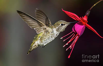 Photograph - Anna Immature Hummingbird by Sal Ahmed