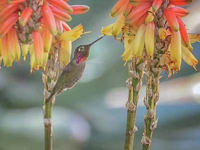Photograph - Anna's Hummingbird 4822 by Tam Ryan