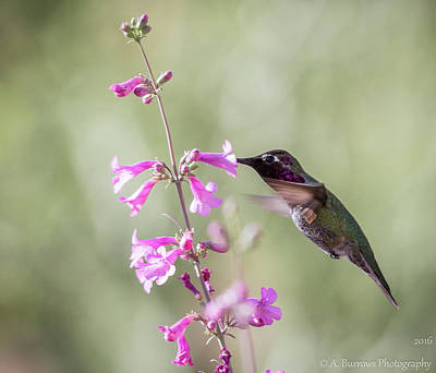 Photograph - Anna's Hummingbird by Aaron Burrows