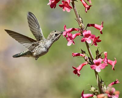 Photograph - Anna's Hummingbird And The Penstemon  by Saija Lehtonen