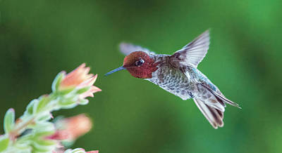 Photograph - Anna's Hummingbird At Cactus Flower by William Bitman