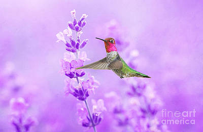 Annas Hummingbird Photograph - Anna's Hummingbird At Lavender Sprig by Laura D Young