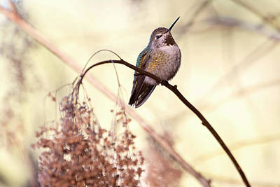 Photograph - Anna's Hummingbird Closeup by Peggy Collins