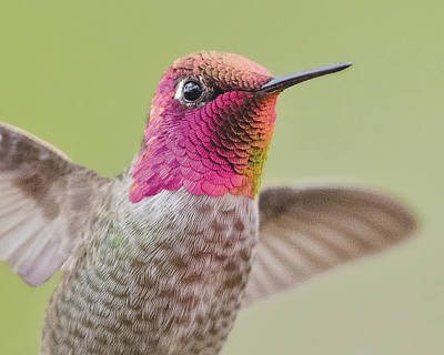 Photograph - Anna's Hummingbird Closup In Flight by William Bitman