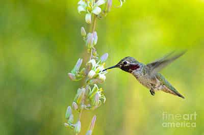 Photograph - Anna's Hummingbird by Emily Bristor