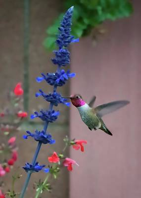 Photograph - Anna's Hummingbird Feasting At Blue Salvia by Lynn Bauer