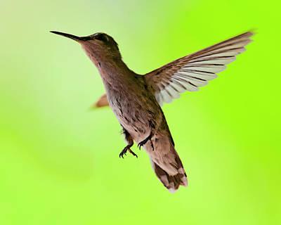 Photograph - Anna's Hummingbird H12 by Mark Myhaver