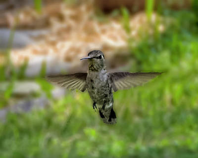Photograph - Anna's Hummingbird H1823 by Mark Myhaver
