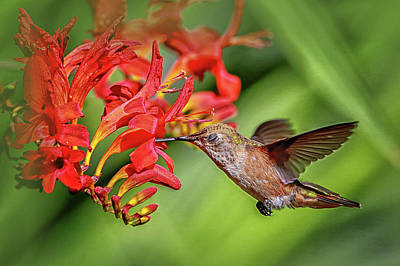 Photograph - Anna's Hummingbird Img 3236 by Craig Strand