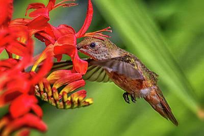 Photograph - Anna's Hummingbird Img 3238 by Craig Strand