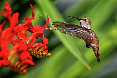 Photograph - Anna's Hummingbird Img 3239 by Craig Strand