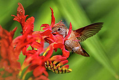 Photograph - Anna's Hummingbird Img 3241 by Craig Strand