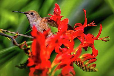 Photograph - Anna's Hummingbird Img 3245 by Craig Strand